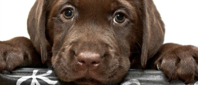puppy-668x288